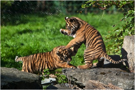 Just like tiger cubs play-fight as a way to develop their hunting skills, children enact social relationships and problem solving to develop their abilities to succeed in the adult world. Image from http://presspack.rte.ie/wp-content/blogs.dir/2/files/2012/11/sumatran-tiger-cubs-playing.jpg.