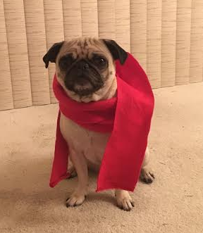 Penny the Pug is wearing a red scarf, the symbol of housing advocacy. Do you know other pets willing to spread the housing message? Photo from WLIHA.